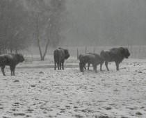 Żubry dzielnie zmagają się ze śnieżycą