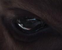 Oko żubra